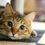 野良猫を保護するなら知っておくべき猫のエイズと白血病について