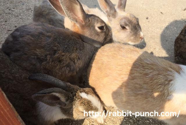 うさぎの島は想像以上にウサギだった