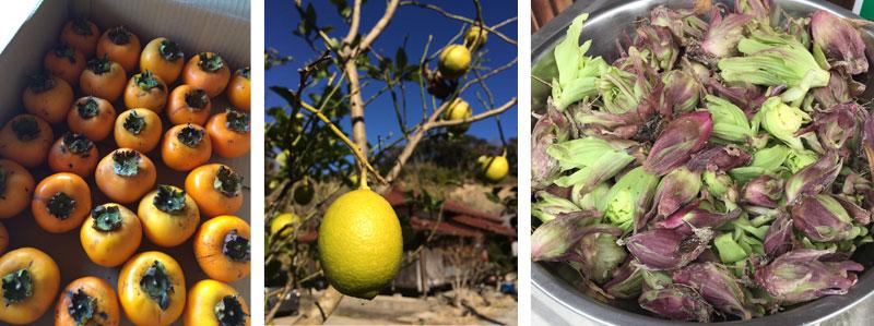 柿・レモン・フキノトウが収穫できる庭