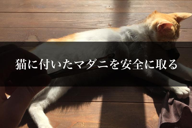猫に付いたマダニは飼い主が取る!道具を使った安全な取り方とは?