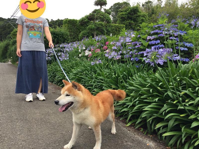 保護犬コタロウと散歩する
